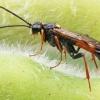 Pjūklelis - Tenthredopsis friesei | Fotografijos autorius : Gintautas Steiblys | © Macrogamta.lt | Šis tinklapis priklauso bendruomenei kuri domisi makro fotografija ir fotografuoja gyvąjį makro pasaulį.