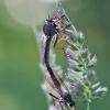 Plėšriamusė – Pamponerus germanicus | Fotografijos autorius : Agnė Našlėnienė | © Macrogamta.lt | Šis tinklapis priklauso bendruomenei kuri domisi makro fotografija ir fotografuoja gyvąjį makro pasaulį.