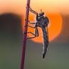 Plėšriamusė | Fotografijos autorius : Tomas Ivašauskas | © Macrogamta.lt | Šis tinklapis priklauso bendruomenei kuri domisi makro fotografija ir fotografuoja gyvąjį makro pasaulį.