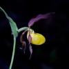 Plačialapė klumpaitė - Cypripedium calceolus | Fotografijos autorius : Gediminas Gražulevičius | © Macrogamta.lt | Šis tinklapis priklauso bendruomenei kuri domisi makro fotografija ir fotografuoja gyvąjį makro pasaulį.