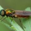 Plokščiamusė - Chloromyia formosa ♂ | Fotografijos autorius : Žilvinas Pūtys | © Macrogamta.lt | Šis tinklapis priklauso bendruomenei kuri domisi makro fotografija ir fotografuoja gyvąjį makro pasaulį.