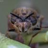 Plokščiamusė - Odontomyia argentata ♀ | Fotografijos autorius : Žilvinas Pūtys | © Macrogamta.lt | Šis tinklapis priklauso bendruomenei kuri domisi makro fotografija ir fotografuoja gyvąjį makro pasaulį.