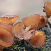 Pavasari̇nė plukiataurė - Dumontinia tuberosa | Fotografijos autorius : Gintautas Steiblys | © Macrogamta.lt | Šis tinklapis priklauso bendruomenei kuri domisi makro fotografija ir fotografuoja gyvąjį makro pasaulį.