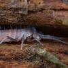 Podūra - Pogonognathellus flavescens | Fotografijos autorius : Žilvinas Pūtys | © Macrogamta.lt | Šis tinklapis priklauso bendruomenei kuri domisi makro fotografija ir fotografuoja gyvąjį makro pasaulį.