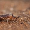 Podūra - Pogonognathellus longicornis | Fotografijos autorius : Žilvinas Pūtys | © Macrogamta.lt | Šis tinklapis priklauso bendruomenei kuri domisi makro fotografija ir fotografuoja gyvąjį makro pasaulį.