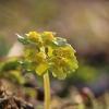 Pražangialapė blužnutė - Chrysosplenium alternifolium | Fotografijos autorius : Agnė Našlėnienė | © Macrogamta.lt | Šis tinklapis priklauso bendruomenei kuri domisi makro fotografija ir fotografuoja gyvąjį makro pasaulį.