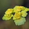Pražangialapė blužnutė - Chrysosplenium alternifolium | Fotografijos autorius : Gintautas Steiblys | © Macrogamta.lt | Šis tinklapis priklauso bendruomenei kuri domisi makro fotografija ir fotografuoja gyvąjį makro pasaulį.