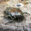 Protaetia lugubris - Marmurinis auksavabalis | Fotografijos autorius : Vitalii Alekseev | © Macrogamta.lt | Šis tinklapis priklauso bendruomenei kuri domisi makro fotografija ir fotografuoja gyvąjį makro pasaulį.