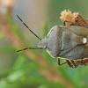 Pušinė skydblakė - Chlorochroa pinicola   Fotografijos autorius : Gintautas Steiblys   © Macrogamta.lt   Šis tinklapis priklauso bendruomenei kuri domisi makro fotografija ir fotografuoja gyvąjį makro pasaulį.