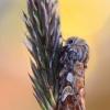 Pušinis pelėdgalvis - Panolis flammea | Fotografijos autorius : Arūnas Eismantas | © Macrogamta.lt | Šis tinklapis priklauso bendruomenei kuri domisi makro fotografija ir fotografuoja gyvąjį makro pasaulį.
