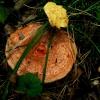Pušyninė rudmėsė - Lactarius deliciosus | Fotografijos autorius : Aleksandras Stabrauskas | © Macrogamta.lt | Šis tinklapis priklauso bendruomenei kuri domisi makro fotografija ir fotografuoja gyvąjį makro pasaulį.