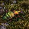 Puošniažygis - Carabus auronitens auronitens   Fotografijos autorius : Eugenijus Kavaliauskas   © Macrogamta.lt   Šis tinklapis priklauso bendruomenei kuri domisi makro fotografija ir fotografuoja gyvąjį makro pasaulį.