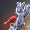 Rūgštyninis apionas - Apion frumentarium   Fotografijos autorius : Agnė Našlėnienė   © Macrogamta.lt   Šis tinklapis priklauso bendruomenei kuri domisi makro fotografija ir fotografuoja gyvąjį makro pasaulį.