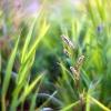 Kartusis rūgtis - Persicaria hydropiper  | Fotografijos autorius : Vidas Brazauskas | © Macrogamta.lt | Šis tinklapis priklauso bendruomenei kuri domisi makro fotografija ir fotografuoja gyvąjį makro pasaulį.