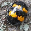 Raštuotasis juodvabalis - Diaperis boleti | Fotografijos autorius : Gintautas Steiblys | © Macrogamta.lt | Šis tinklapis priklauso bendruomenei kuri domisi makro fotografija ir fotografuoja gyvąjį makro pasaulį.