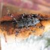 Raibasis pilkšys  - Aegomorphus clavipes | Fotografijos autorius : Agnė Kulpytė | © Macrogamta.lt | Šis tinklapis priklauso bendruomenei kuri domisi makro fotografija ir fotografuoja gyvąjį makro pasaulį.