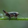 Raistinis spragtukas - Metrioptera brachyptera ♂, nimfa | Fotografijos autorius : Žilvinas Pūtys | © Macrogamta.lt | Šis tinklapis priklauso bendruomenei kuri domisi makro fotografija ir fotografuoja gyvąjį makro pasaulį.