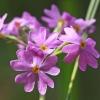 Raktažolė pelenėlė - Primula farinosa   Fotografijos autorius : Gintautas Steiblys   © Macrogamta.lt   Šis tinklapis priklauso bendruomenei kuri domisi makro fotografija ir fotografuoja gyvąjį makro pasaulį.
