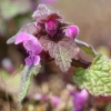 Raudonžiedė notrelė - Lamium purpureum | Fotografijos autorius : Ramunė Činčikienė | © Macrogamta.lt | Šis tinklapis priklauso bendruomenei kuri domisi makro fotografija ir fotografuoja gyvąjį makro pasaulį.