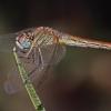 Raudongyslė skėtė - Sympetrum fonscolombii, patelė | Fotografijos autorius : Vaida Paznekaitė | © Macrogamta.lt | Šis tinklapis priklauso bendruomenei kuri domisi makro fotografija ir fotografuoja gyvąjį makro pasaulį.