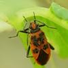 Raudonmargė kampuotblakė - Corizus hyoscyami | Fotografijos autorius : Vidas Brazauskas | © Macrogamta.lt | Šis tinklapis priklauso bendruomenei kuri domisi makro fotografija ir fotografuoja gyvąjį makro pasaulį.