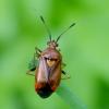 Raudonoji žolblakė - Deraeocoris ruber | Fotografijos autorius : Romas Ferenca | © Macrogamta.lt | Šis tinklapis priklauso bendruomenei kuri domisi makro fotografija ir fotografuoja gyvąjį makro pasaulį.