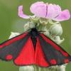 Raudonsparnė meškutė - Tyria jacobaeae | Fotografijos autorius : Gintautas Steiblys | © Macrogamta.lt | Šis tinklapis priklauso bendruomenei kuri domisi makro fotografija ir fotografuoja gyvąjį makro pasaulį.