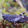 Raudonsparnis tarkšlys - Psophus stridulus | Fotografijos autorius : Romas Ferenca | © Macrogamta.lt | Šis tinklapis priklauso bendruomenei kuri domisi makro fotografija ir fotografuoja gyvąjį makro pasaulį.