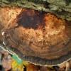 Rauplėtasis vingurėlis - Daedaleopsis confragosa | Fotografijos autorius : Aleksandras Stabrauskas | © Macrogamta.lt | Šis tinklapis priklauso bendruomenei kuri domisi makro fotografija ir fotografuoja gyvąjį makro pasaulį.
