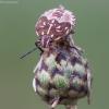Rausvasparnė skydblakė - Carpocoris purpureipennis, nimfa | Fotografijos autorius : Žilvinas Pūtys | © Macrogamta.lt | Šis tinklapis priklauso bendruomenei kuri domisi makro fotografija ir fotografuoja gyvąjį makro pasaulį.