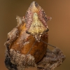 Rausvasparnė skydblakė - Carpocoris purpureipennis | Fotografijos autorius : Žilvinas Pūtys | © Macrogamta.lt | Šis tinklapis priklauso bendruomenei kuri domisi makro fotografija ir fotografuoja gyvąjį makro pasaulį.