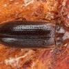 Reliktinis niūravabalis - Zilora cf. obscura   Fotografijos autorius : Žilvinas Pūtys   © Macrogamta.lt   Šis tinklapis priklauso bendruomenei kuri domisi makro fotografija ir fotografuoja gyvąjį makro pasaulį.
