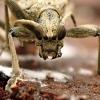 Dygusis ragijus - Rhagium mordax | Fotografijos autorius : Vitalii Alekseev | © Macrogamta.lt | Šis tinklapis priklauso bendruomenei kuri domisi makro fotografija ir fotografuoja gyvąjį makro pasaulį.