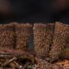 Rievėtoji miegė - Cyathus striatus   Fotografijos autorius : Žilvinas Pūtys   © Macrogamta.lt   Šis tinklapis priklauso bendruomenei kuri domisi makro fotografija ir fotografuoja gyvąjį makro pasaulį.