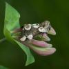 Rožinis pūkanugaris - Thyatira batis   Fotografijos autorius : Žilvinas Pūtys   © Macrogamta.lt   Šis tinklapis priklauso bendruomenei kuri domisi makro fotografija ir fotografuoja gyvąjį makro pasaulį.