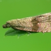 Rudajuostė celifa - Celypha striana | Fotografijos autorius : Vidas Brazauskas | © Macrogamta.lt | Šis tinklapis priklauso bendruomenei kuri domisi makro fotografija ir fotografuoja gyvąjį makro pasaulį.