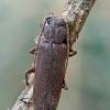 Rudasis gaisrasekis - Arhopalus rusticus | Fotografijos autorius : Gintautas Steiblys | © Macrogamta.lt | Šis tinklapis priklauso bendruomenei kuri domisi makro fotografija ir fotografuoja gyvąjį makro pasaulį.