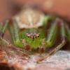Rudasis lapavoris - Diaea dorsata ♂ | Fotografijos autorius : Žilvinas Pūtys | © Macrogamta.lt | Šis tinklapis priklauso bendruomenei kuri domisi makro fotografija ir fotografuoja gyvąjį makro pasaulį.
