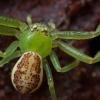 Rudasis lapavoris - Diaea dorsata | Fotografijos autorius : Žilvinas Pūtys | © Macrogamta.lt | Šis tinklapis priklauso bendruomenei kuri domisi makro fotografija ir fotografuoja gyvąjį makro pasaulį.