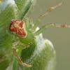 Rudasis lapavoris - Diaea dorsata | Fotografijos autorius : Gintautas Steiblys | © Macrogamta.lt | Šis tinklapis priklauso bendruomenei kuri domisi makro fotografija ir fotografuoja gyvąjį makro pasaulį.