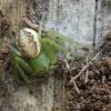 Rudasis lapavoris - Diaea dorsata | Fotografijos autorius : Giedrius Markevičius | © Macrogamta.lt | Šis tinklapis priklauso bendruomenei kuri domisi makro fotografija ir fotografuoja gyvąjį makro pasaulį.