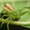 Rudasis lapavoris - Diaea dorsata | Fotografijos autorius : Vidas Brazauskas | © Macrogamta.lt | Šis tinklapis priklauso bendruomenei kuri domisi makro fotografija ir fotografuoja gyvąjį makro pasaulį.