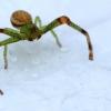 Rudasis lapavoris - Diaea dorsata | Fotografijos autorius : Ramunė Vakarė | © Macrogamta.lt | Šis tinklapis priklauso bendruomenei kuri domisi makro fotografija ir fotografuoja gyvąjį makro pasaulį.