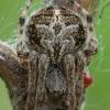 Rudasis rezginuolis - Agalenatea redii ♀ | Fotografijos autorius : Žilvinas Pūtys | © Macrogamta.lt | Šis tinklapis priklauso bendruomenei kuri domisi makro fotografija ir fotografuoja gyvąjį makro pasaulį.