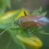 Rudasparnė žolblakė - Dichrooscytus rufipennis | Fotografijos autorius : Žilvinas Pūtys | © Macrogamta.lt | Šis tinklapis priklauso bendruomenei kuri domisi makro fotografija ir fotografuoja gyvąjį makro pasaulį.