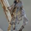 Rudeninis kuoduotis - Ptilophora plumigera | Fotografijos autorius : Arūnas Eismantas | © Macrogamta.lt | Šis tinklapis priklauso bendruomenei kuri domisi makro fotografija ir fotografuoja gyvąjį makro pasaulį.