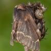 Rudeninis verpikas - Poecilocampa populi ♀ | Fotografijos autorius : Žilvinas Pūtys | © Macrogamta.lt | Šis tinklapis priklauso bendruomenei kuri domisi makro fotografija ir fotografuoja gyvąjį makro pasaulį.