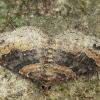 Rūdžiajuostė cidarija - Xanthorhoe ferrugata | Fotografijos autorius : Vidas Brazauskas | © Macrogamta.lt | Šis tinklapis priklauso bendruomenei kuri domisi makro fotografija ir fotografuoja gyvąjį makro pasaulį.