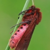 Rudoji meškutė - Phragmatobia fuliginosa | Fotografijos autorius : Gintautas Steiblys | © Macrogamta.lt | Šis tinklapis priklauso bendruomenei kuri domisi makro fotografija ir fotografuoja gyvąjį makro pasaulį.