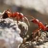 Raudongalvė skruzdėlė - Formica truncorum   Fotografijos autorius : Irenėjas Urbonavičius   © Macrogamta.lt   Šis tinklapis priklauso bendruomenei kuri domisi makro fotografija ir fotografuoja gyvąjį makro pasaulį.